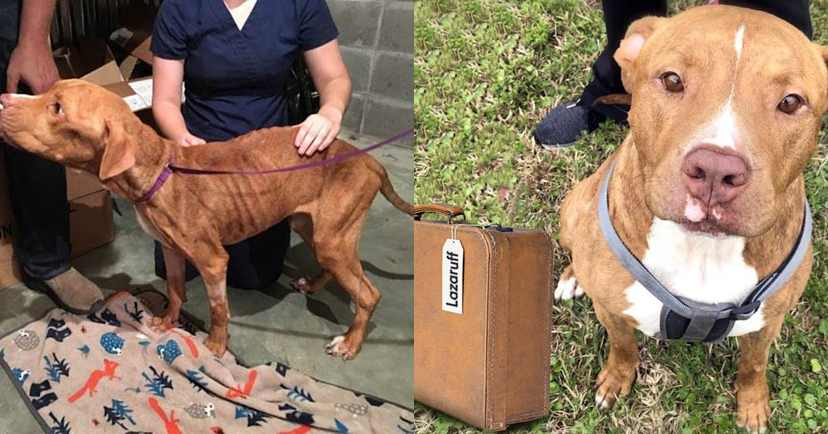 Lazaruff, once-skeletal pit bull, becomes happy rescue dog