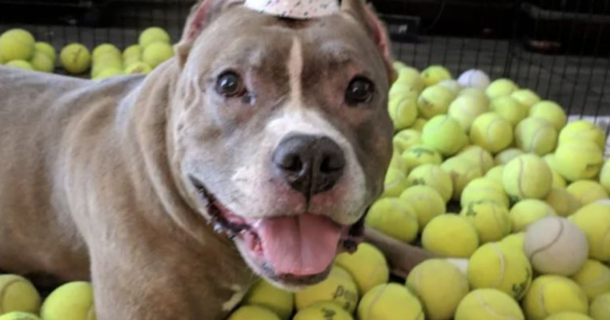 Pit bull rescue marks birthday with 500 tennis balls in touching tradition