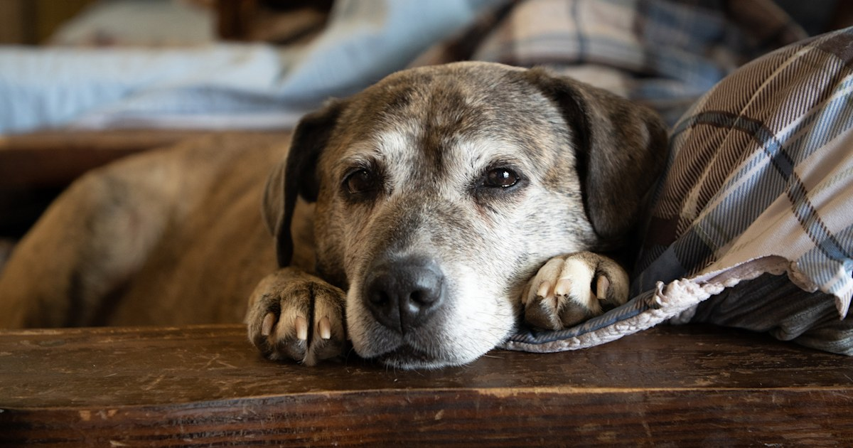 Old Friends Senior Dog Sanctuary rescues dogs, pays vet bills