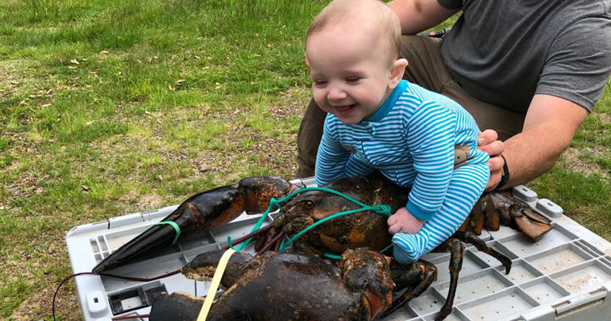 See a baby riding on top of a 17-pound lobster
