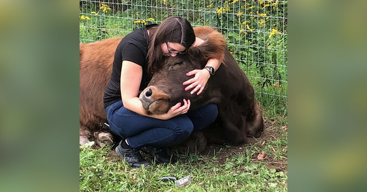 Cow cuddling lets people relax with help of friendly bovines