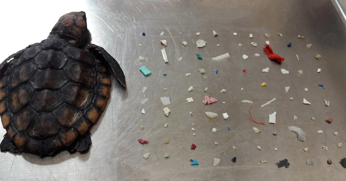 Baby turtle dies after eating 104 pieces of plastic off Florida coast