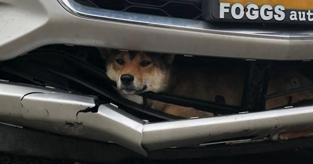 Dog goes for a wild ride after getting stuck in car bumper