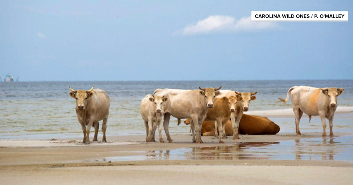 Cows swept away by Hurricane Dorian found 3 months later