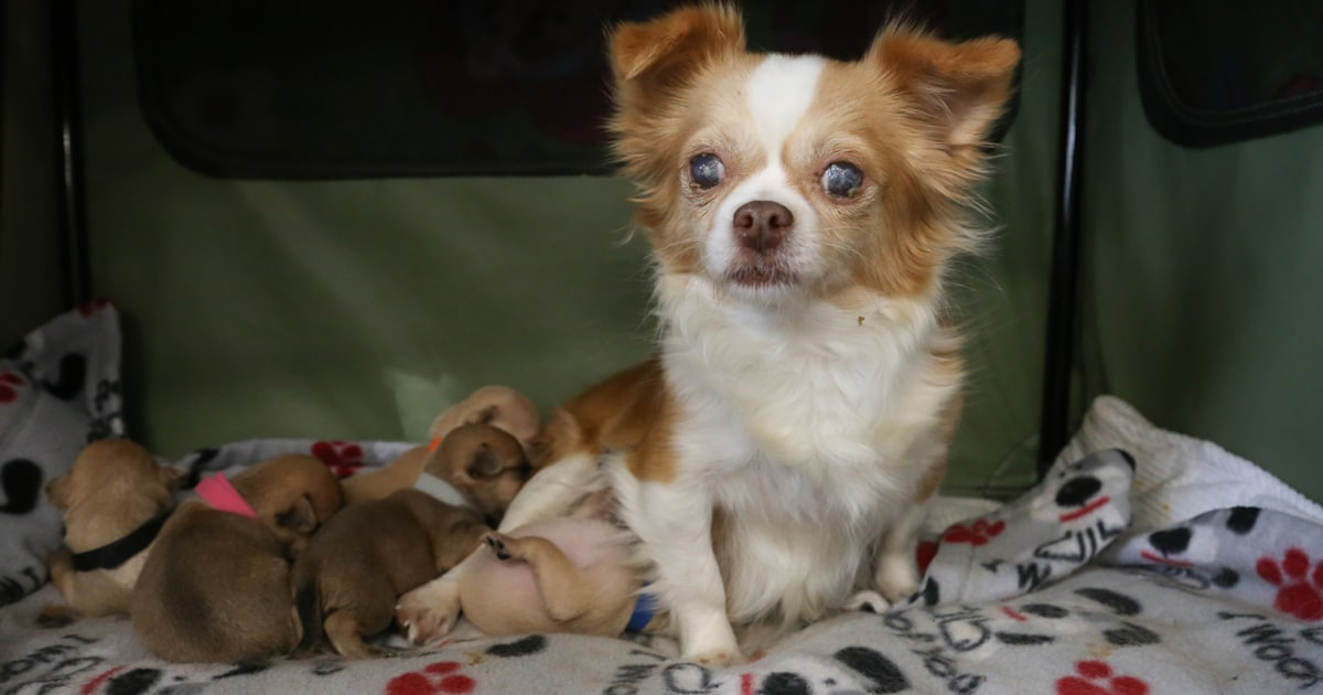 Rescue dog who lost her own litter 'adopts' orphaned puppies