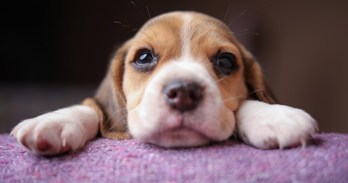 CDC probes outbreak of illnesses linked to pet store puppies
