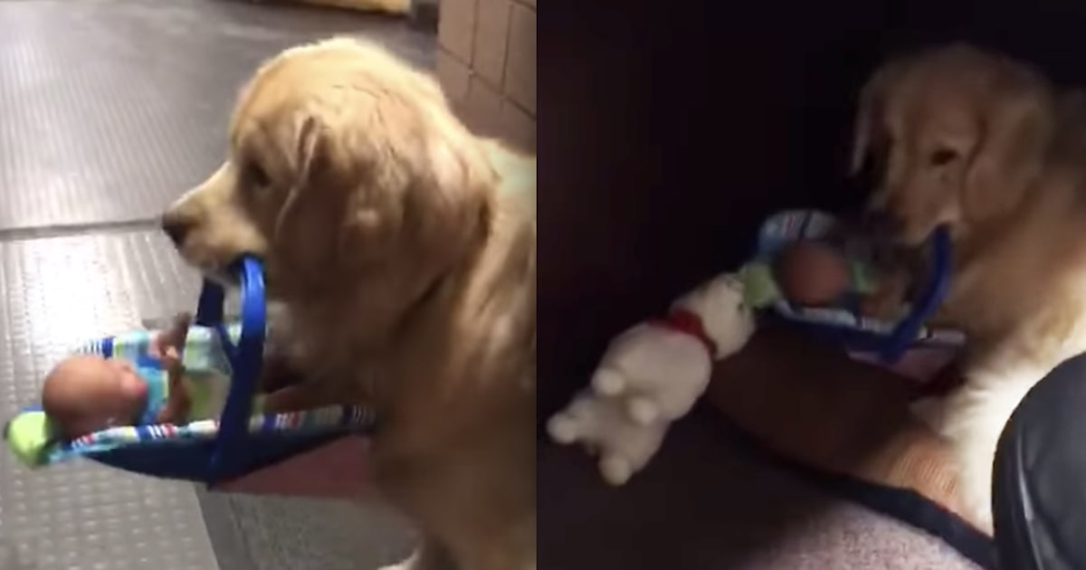 Police therapy dog hilariously busted for stealing donated toys