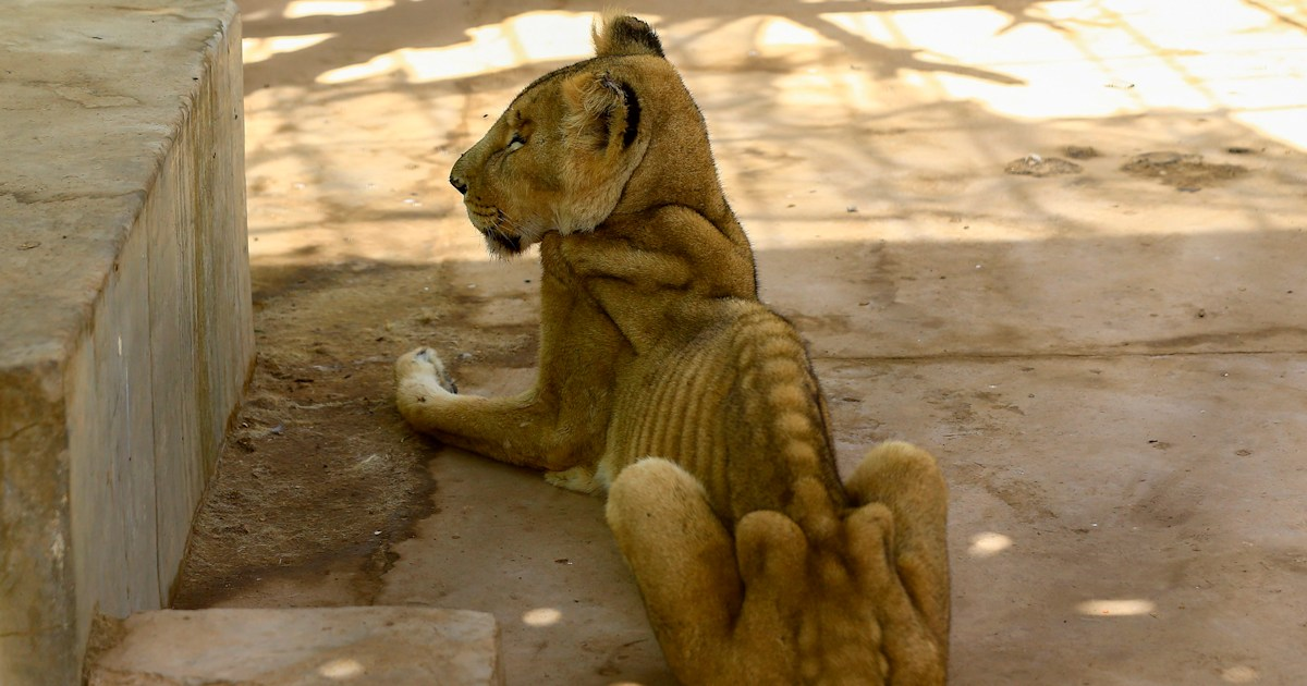 Photos of emaciated lions spark campaign to save them