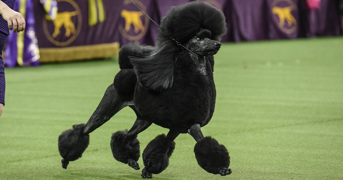 Standard poodle named Siba wins Westminster best in show