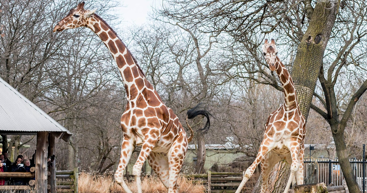 Giraffes have adorable reaction to finally going outside after long winter