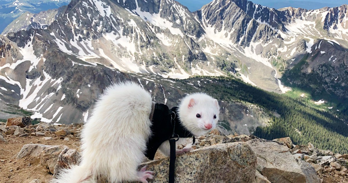This hiking ferret has summited 11 of Colorado's highest peaks