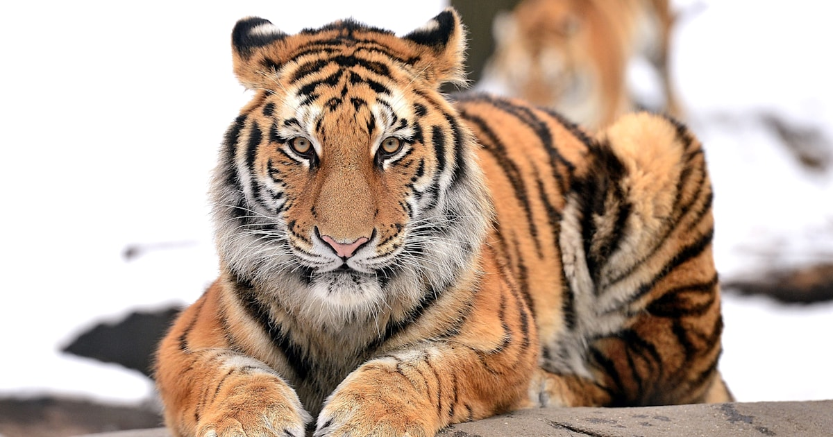 A tiger has coronavirus: Is your pet at risk?