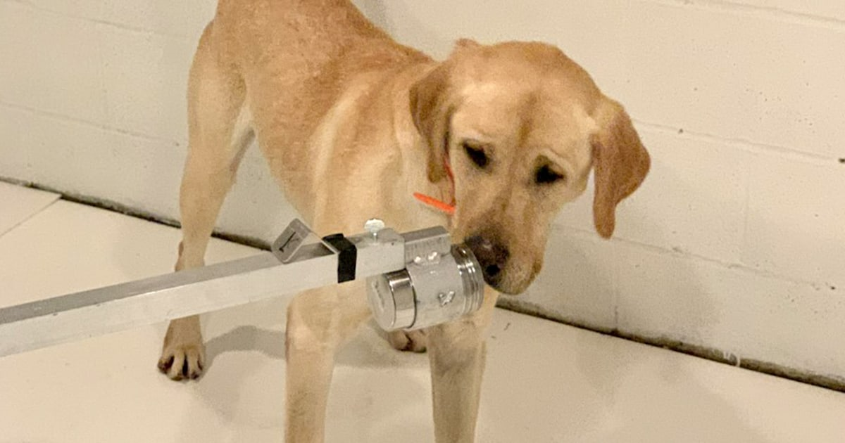 'Dogs are going to find it': How pups might help detect coronavirus