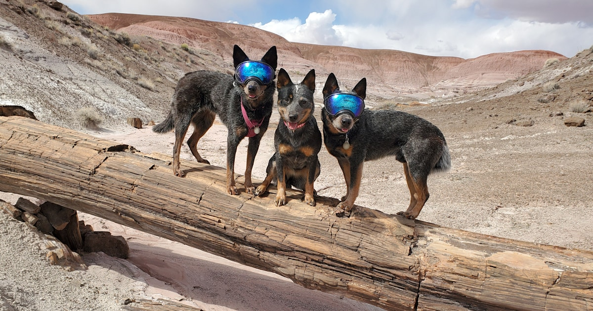Deaf dog's pack provides 'protection ears' on outdoor adventures
