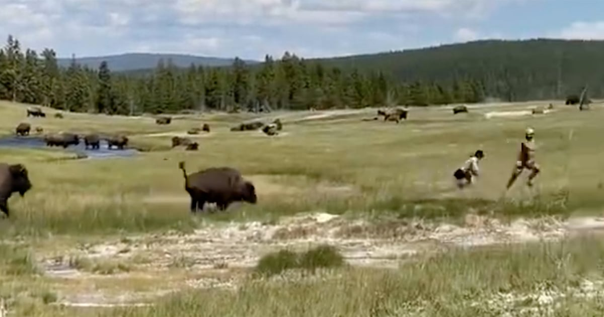 Woman 'plays dead' while running from charging bison in Yellowstone