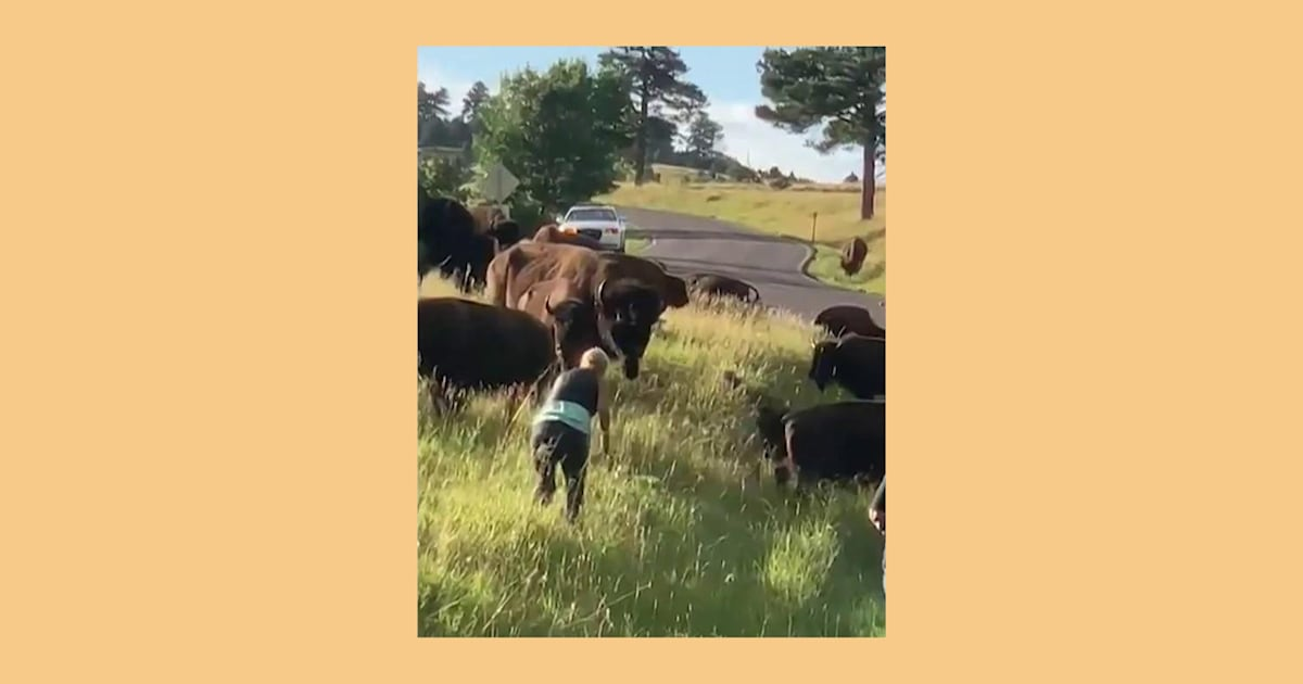 Woman tossed out of her jeans after being charged by bison