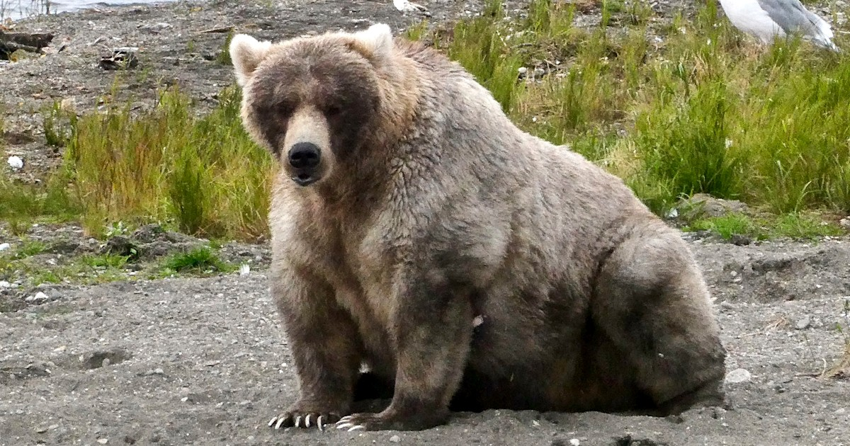 It's Fat Bear Week! Body-positive tournament to crown chubby cubby champ