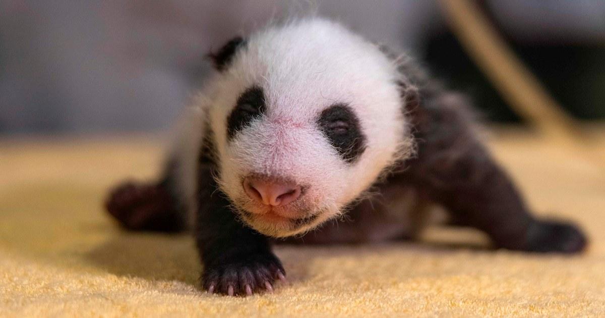 Baby panda born at National Zoo is a boy