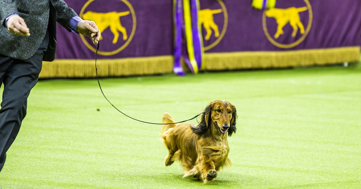 Westminster dog show ditches Madison Square Garden for 1st time in a century