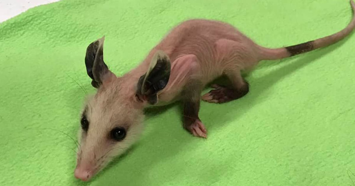 Hairless opossum gets sweater donations to survive winter