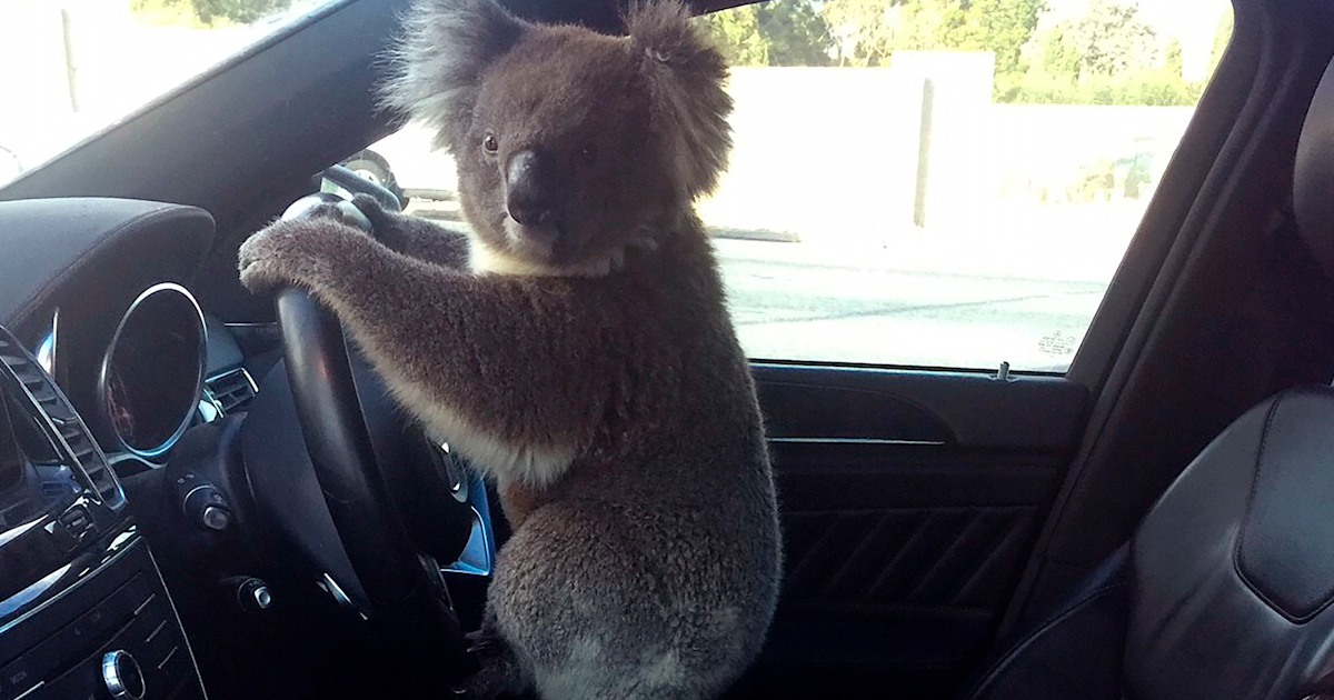 Is that koala driving? See the story behind the viral photo