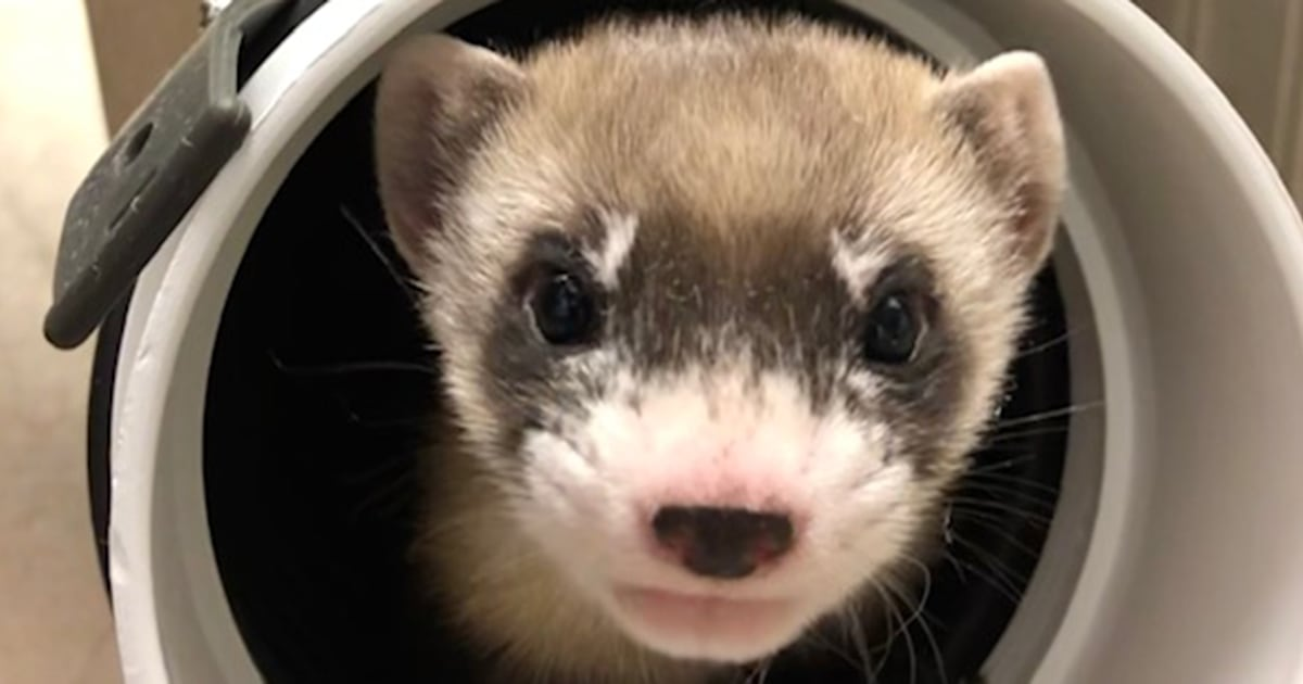 Meet the 1st native US ferret clone — from an animal that lived over 30 years ago