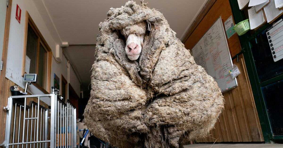 Wild sheep rescued in Australia shorn of 75 pounds of wool