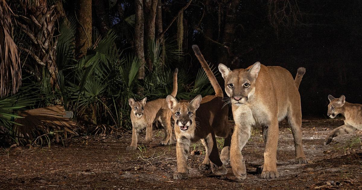 Photographer captures rare photos of Florida panthers and kittens