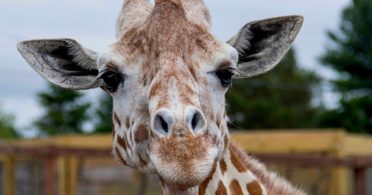 April, the giraffe who became an online star, dies