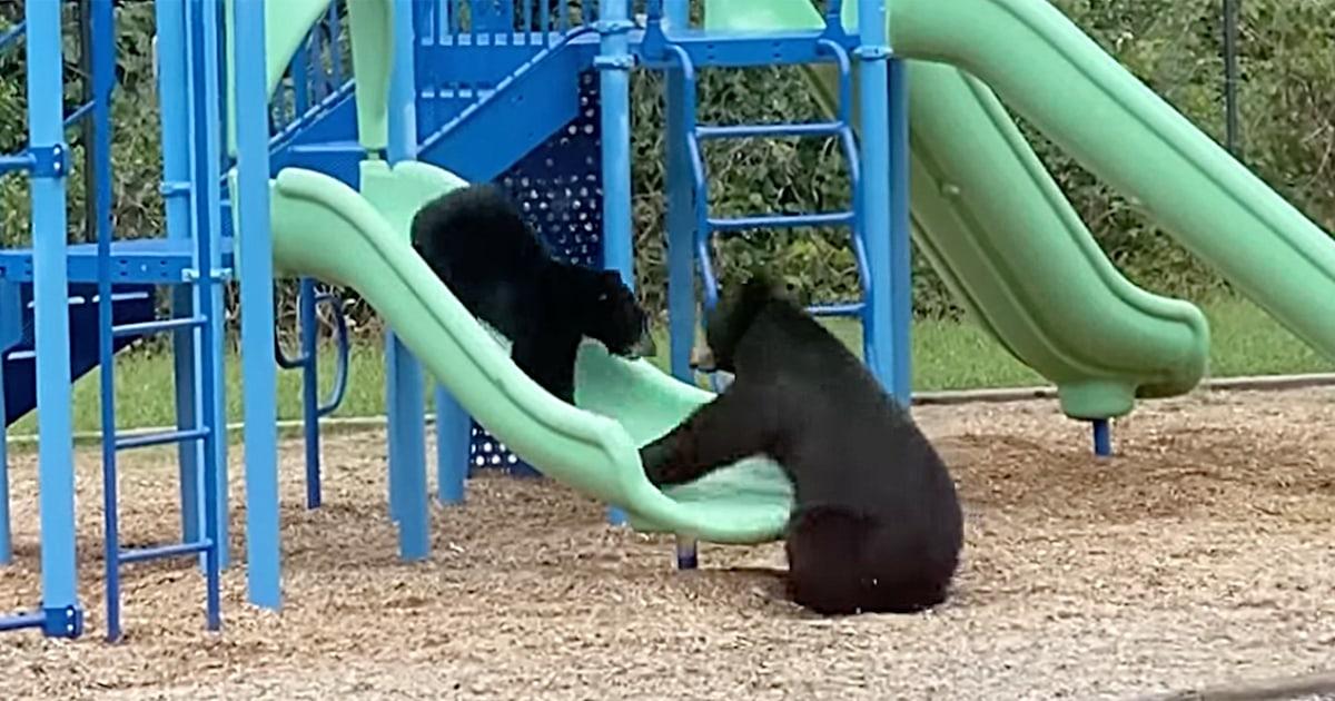 Watch a mama bear teach her cub how to use a playground slide