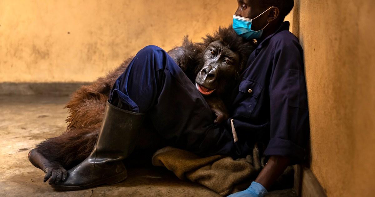 Ndakasi, mountain gorilla who became selfie star, dies in the arms of her caretaker