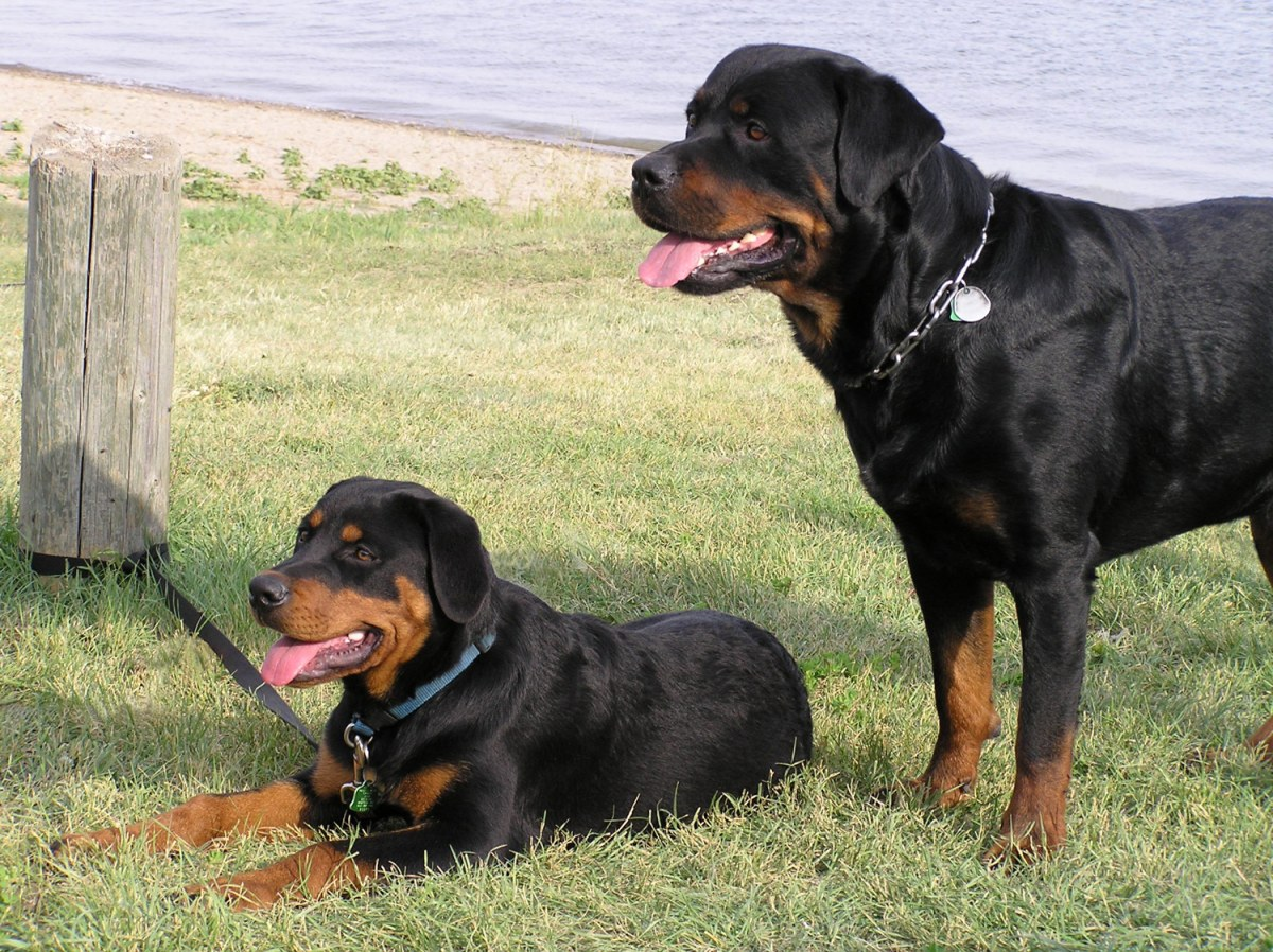 ... Small Dog Breeds Akc Dog Breeds Large Dog Breeds Scruffy Dog Breeds