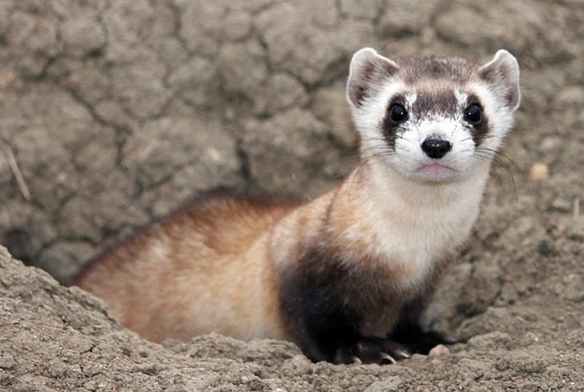15 Furry Ferret Facts For National Ferret Day