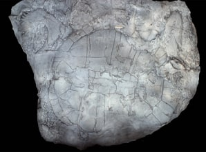 fossil asian personals Homo erectus and theories and controversies about the earliest hominids  to see asian fossils and artefacts  fossils dating to the start of.