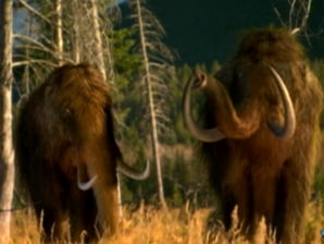 Can scientists clone the woolly mammoth?