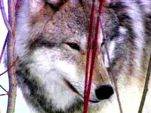 Fatal wolf attack unnerves Alaska village - US news - Life