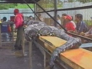 49-foot python captured in Indonesia - World news | NBC News