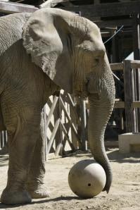 Zoo Elephant Makes Exit To Animal Sanctuary Technology