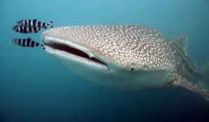 2nd whale shark dies at Georgia Aquarium - Technology ...