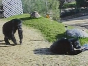 Gruesome chimp attack doesn't surprise experts - US news