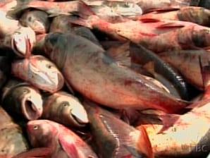 Golenit' meaning Asian carp nbc lakhta meaning