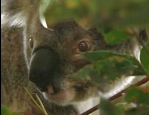 Koala survives 60 mph hit 7 miles in grille world news - Koala components ...