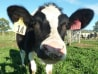 Cow named Daisy makes reduced-allergy milk