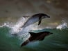 Image: Dolphins photographed by Greg Huglin