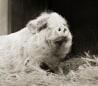 Image: Violet, potbellied pig, age 12.