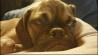 Video: Step aside, Grumpy Cat: Meet Grumpy Dog!