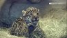 March 30: The latest animal addition to the San Diego Zoo made its debut over the weekend: An adorable jaguar cub! The feisty young feline could be seen exploring her new habitat in a video released by the zoo on March 27th.�(Other)