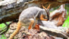 June 30: A wallaby was used as a surrogate mother for tree kangaroo joey Makaia, whose mother was killed in an accident. The two seem to be a perfect pair.�(Other)