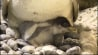 July 31: A baby penguin, born on July 20th, has been drawing big crowds in Osaka, Japan. Watch as the little bird lays low, hangs out, and has a quick snack.�(Other)