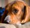 Image: Beagle